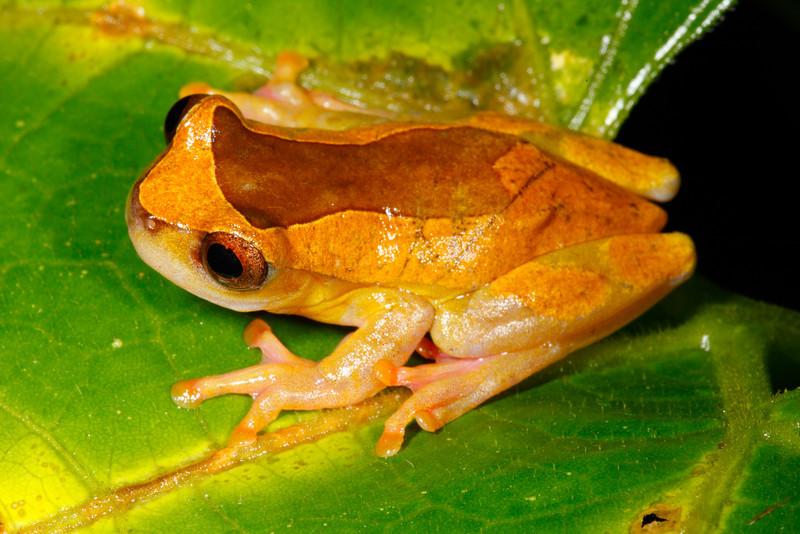 BC Hylidae Hylinae<br /> Dendropsophus triangulum<br /> Variable Clown Treefrog<br /> Santa Cruz<br /> Specimen #3<br /> 2013