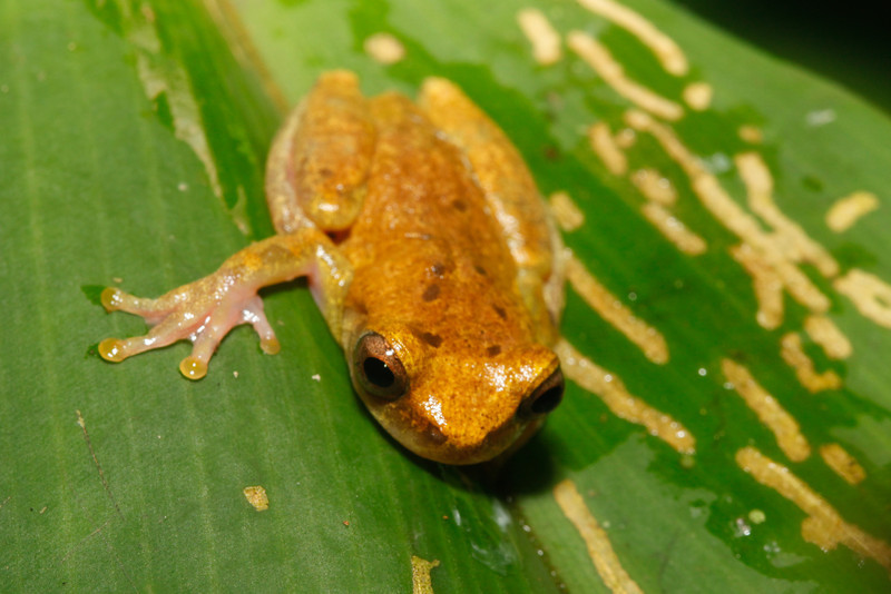 BC Hylidae Hylinae<br /> Hypsiboas microderma<br /> Yellow Toed Treefrog<br /> Madre Selva<br /> 2013
