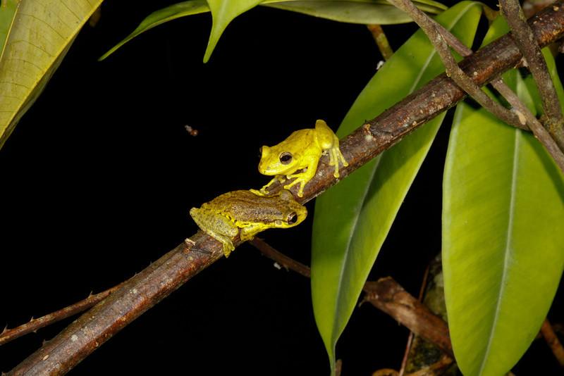 BC Hylidae Hylinae<br /> Scinax ruber<br /> Two Striped Treefrog<br /> Santa Cruz<br /> 2013