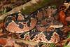 EL Colubroidea Viperidae Crotalinae<br /> Lachesis muta<br /> South American Bushmaster<br /> Photo Shoot #2<br /> Santa Cruz<br /> 2013