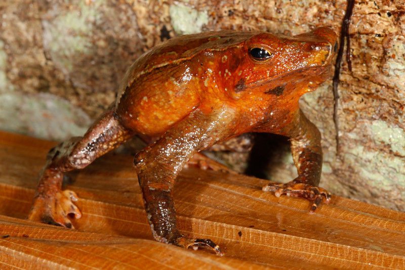 BA Bufonidae<br /> Rhinella dapsilis<br /> Sharp Nosed Toad<br /> Madre Selva<br /> 2013
