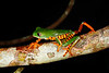 BC Hylidae Phyllomedusinae<br /> Phyllomedusa tomopterna<br /> Barred Monkey Frog<br /> Santa Cruz<br /> 2013