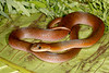EEF Colubroidea Dipsadidae<br /> Erythrolamprus typhlus<br /> Velvety Swamp Snake<br /> Brown Phase<br /> Madre Selva<br /> 2013