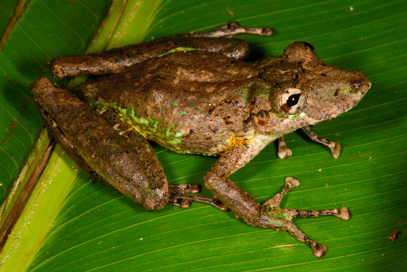 BC Hylidae Hylinae<br /> Scinax garbei<br /> Fringe Lipped Treefrog<br /> Madre Selva<br /> 2013