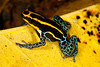 BE Dentrobatidae Dendrobatinae<br /> Ranitomeya variabilis<br /> Variable Poison Frog<br /> Santa Cruz<br /> 2013