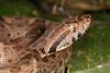 EL Colubroidea Viperidae Crotalinae<br /> Bothrops atrox<br /> South American Fer-de-Lance<br /> Madre Selva<br /> 2013