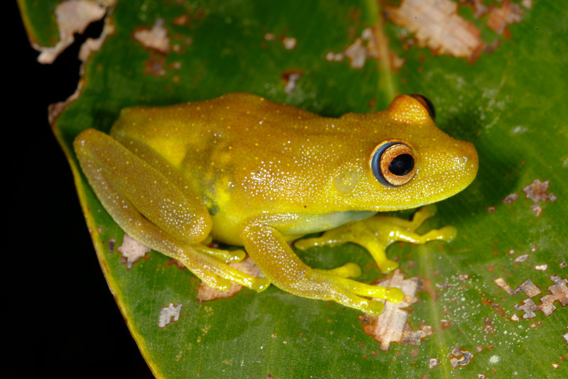 BC Hylidae Hylinae<br /> Hypsiboas cinerascens<br /> Rough Skinned Green Treefrog<br /> Santa Cruz<br /> 2013