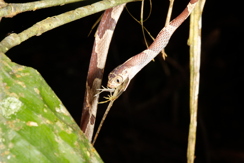 EEF Colubroidea Dipsadidae<br /> Imantodes cenchoa<br /> Common Blunt Headed Tree Snake<br /> eating Anolis trachyderma<br /> Madre Selva<br /> Photo #6<br /> 2013