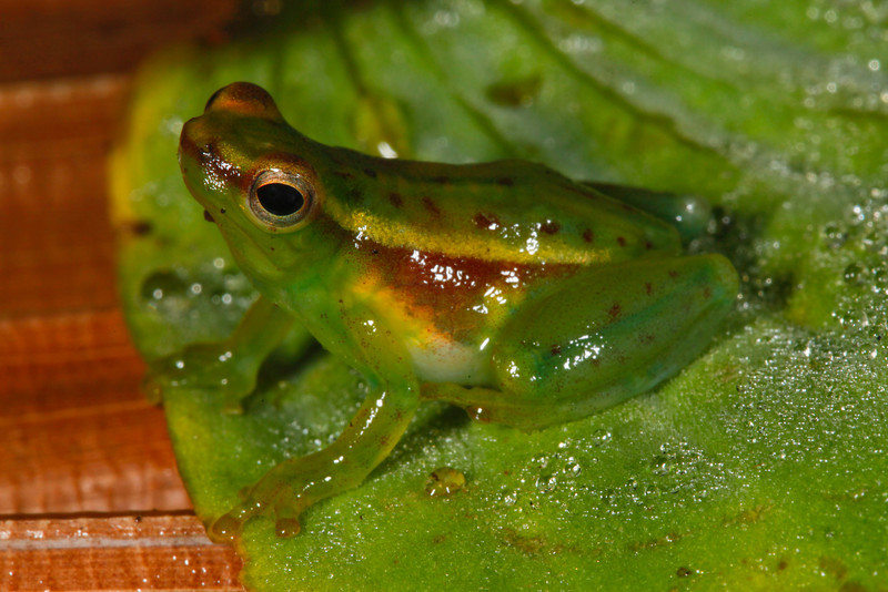 BC Hylidae Hylinae<br /> Sphaenorhynchus carneus<br /> Pygmy Hatchet Faced Frog<br /> Madre Selva<br /> 2013
