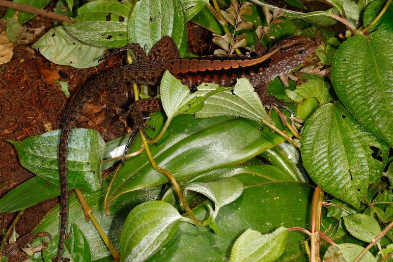 DCD Scincomorpha Teiidae<br /> Kentropyx pelviceps<br /> Forest Whiptail<br /> Madre Selva<br /> 2013