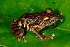 BG Strabomantidae Strabomantinae <br /> Pristimantis diadematus<br /> Diadem Rain Frog<br /> Santa Cruz<br /> 2013