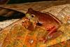 BC Hylidae Hylinae<br /> Trachycephalus coriaceus<br /> Santa Cruz<br /> 2013