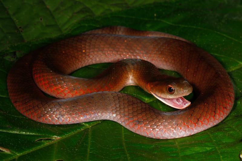 EEF Colubroidea Dipsadidae<br /> Erythrolamprus typhlus<br /> Velvety Swamp Snake<br /> Brown Phase<br /> Madre Selva<br /> 2013