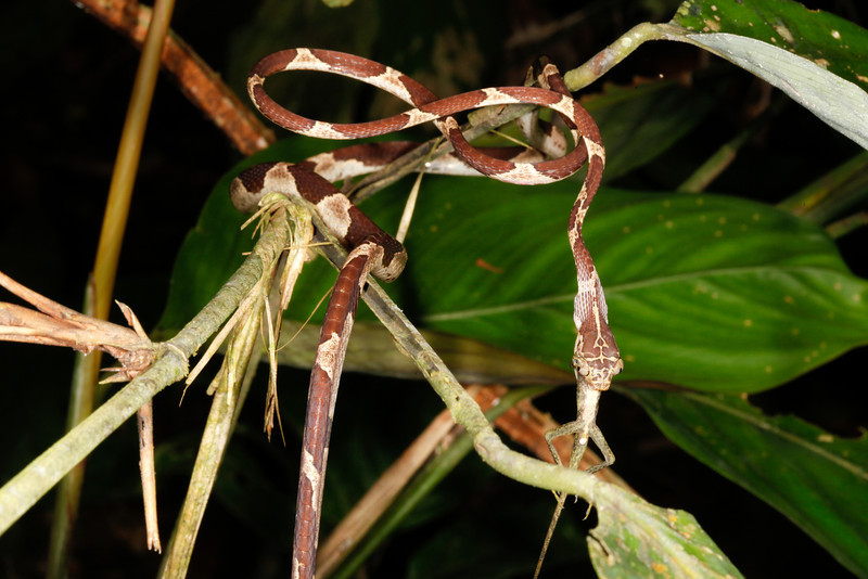 EEF Colubroidea Dipsadidae<br /> Imantodes cenchoa<br /> Common Blunt Headed Tree Snake<br /> eating Anolis trachyderma<br /> Madre Selva<br /> Photo #4<br /> 2013