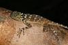 DA Iguania Iguanidae Tropiduridae<br /> Plica plica<br /> Collared Tree Runner<br /> Madre Selva<br /> 2013
