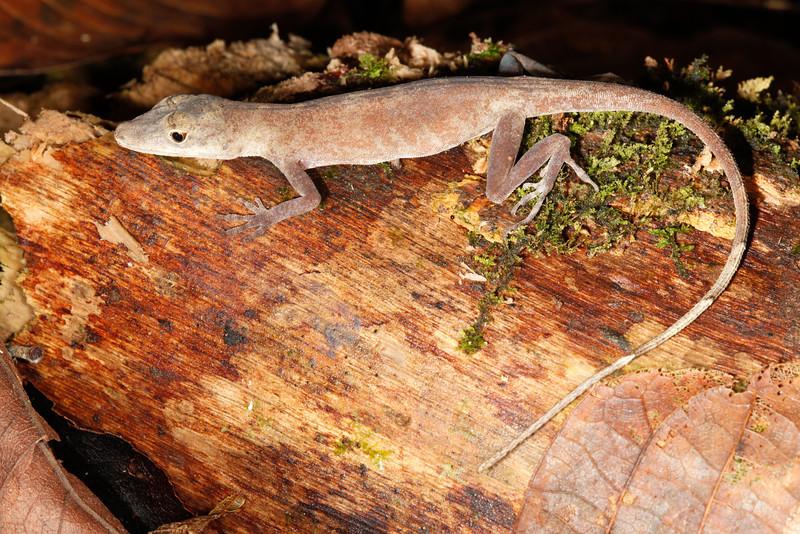 DA Iguania Iguanidae Dactyloidae<br /> Anolis fuscoauratus<br /> Slender Anole<br /> Madre Selva<br /> 2013