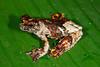 BC Hylidae Hylinae<br /> Dendropsophus marmoratus <br /> Santa Cruz<br /> 2013
