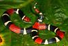 EI Colubroidea Elapidae Elapinae<br /> Micrurus surinamensis<br /> Aquatic Coral Snake<br /> Madre Selva<br /> Speciman #1<br /> 2013