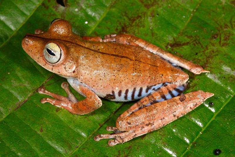 BC Hylidae Hylinae<br /> Hypsiboas calcaratus<br /> Convict Treefrog<br /> Madre Selva<br /> 2013