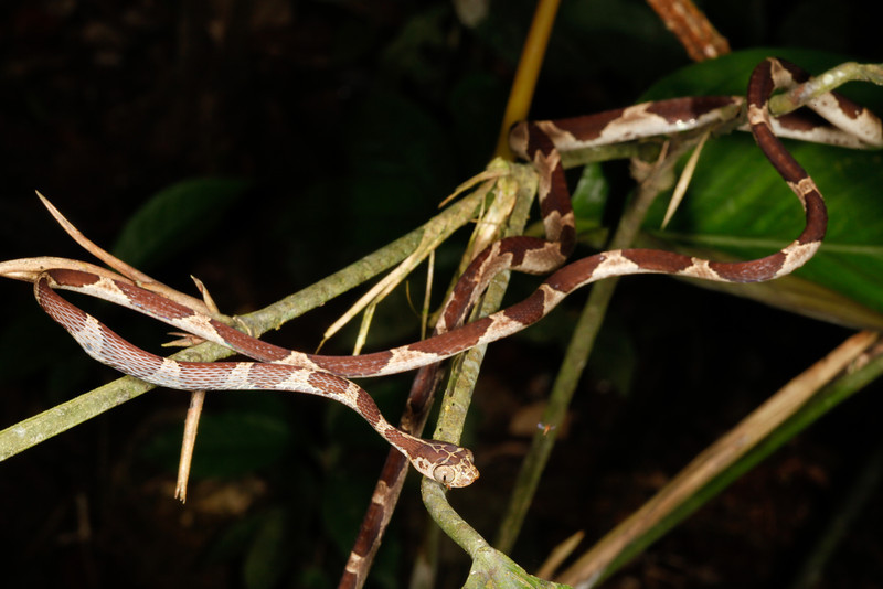 EEF Colubroidea Dipsadidae<br /> Imantodes cenchoa<br /> Common Blunt Headed Tree Snake<br /> eating Anolis trachyderma<br /> Madre Selva<br /> Photo #10<br /> 2013