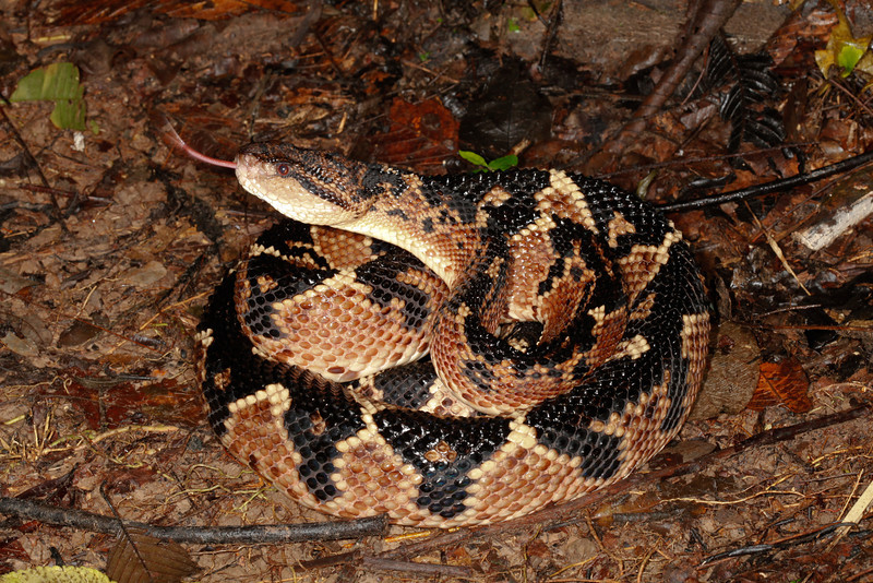 EL Colubroidea Viperidae Crotalinae<br /> Lachesis muta<br /> South American Bushmaster<br /> Initial View<br /> Santa Cruz<br /> 2013