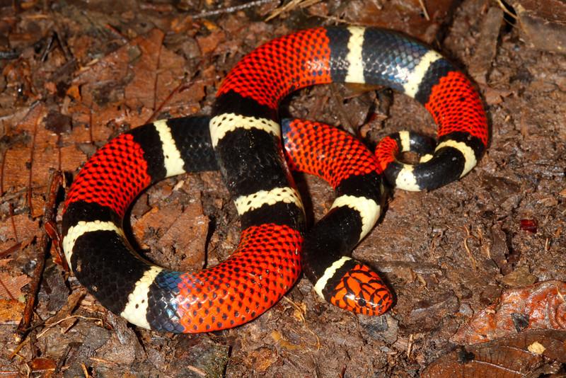 EI Colubroidea Elapidae Elapinae<br /> Micrurus surinamensis<br /> Aquatic Coral Snake<br /> Madre Selva<br /> Speciman #2<br /> 2013