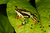 BA Bufonidae<br /> Atelopus spumarius<br /> Amazon Harlequin Toad<br /> Madre Selva<br /> 2014