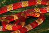 EI Colubroidea Elapidae Elapinae<br /> Micrurus langsdorffi<br /> Langsdorff's Coral Snake<br /> Santa Cruz<br /> 2014