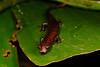AB Plethodontidae Hemidactyliinae<br /> Bolitoglossa altamazonica<br /> Amazon Climbing Salamander<br /> Santa Cruz<br /> 2014