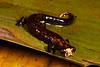 AB Plethodontidae Hemidactyliinae<br /> Bolitoglossa peruviana<br /> Madre Selva<br /> Specimen #2<br /> 2014