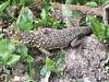 DA Iguania Iguanidae Tropiduridae <br /> Stenocercus crassicaudatus<br /> Spiny Whorltail Iguana<br /> Machu Picchu<br /> 2018<br /> Iphone