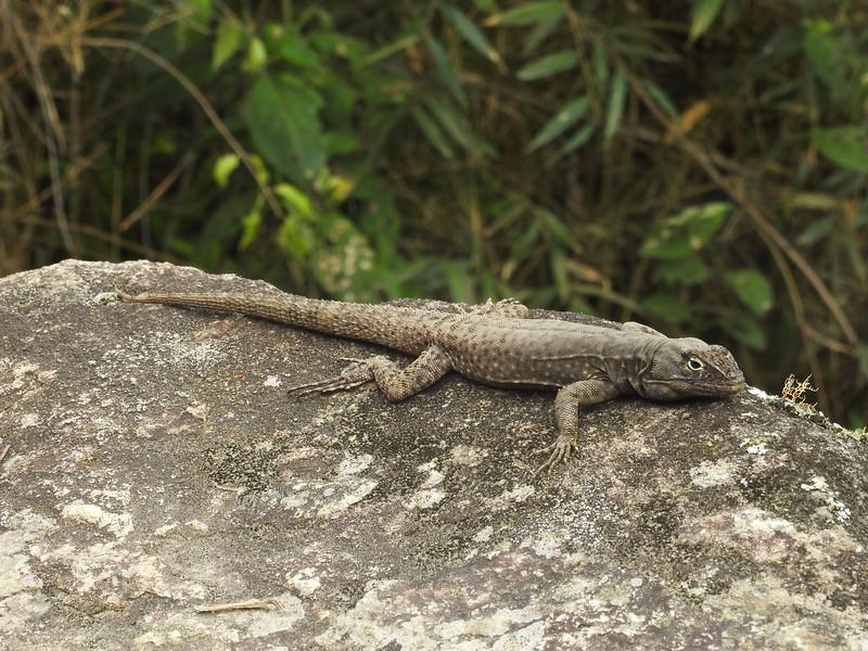DA Iguania Iguanidae Tropiduridae <br /> Stenocercus crassicaudatus<br /> Spiny Whorltail Iguana<br /> Machu Picchu<br /> 2018