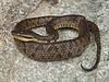 EL Colubroidea Viperidae Crotalinae<br /> Bothrocophias andianus <br /> Andean Lancehead<br /> Machu Picchu<br /> 2018