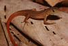 DCC Scincomorpha Gymnophthalmidae<br /> Cercosaura ocellata<br /> Black-striped Forest Lizard<br /> Madre Selva