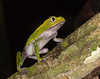 BC Hylidae Phyllomedusinae<br /> Phyllomedusa vaillanti<br /> White Lined Monkey Frog<br /> 2010
