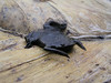 BAA Pipidae<br /> Pipa pipa<br /> Suriname Toad<br /> Madre Selva