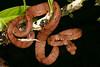 ED Booidea Boidae Boinae<br /> Corallus hortulanus<br /> Amazon Tree Boa