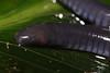 AA Caeciliidae<br /> Caecilia gracilis<br /> Caecilian<br /> Madre Selva