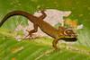 DB Gekkota Sphaerodactylidae <br /> Gonatodes humeralis<br /> Bridled Forest Gecko<br /> Madre Selva<br /> 2010