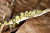 DA Iguania Iguanidae Dactyloidae<br /> Anolis transversalis<br /> Banded Tree Anole