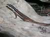 DCC Scincomorpha Gymnophthalmidae<br /> Cercosaura argulus<br /> White Striped Eyed Lizard<br /> Madre Selva