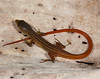 DCC Scincomorpha Gymnophthalmidae<br /> Cercosaura ocellata<br /> Black-striped Forest Lizard