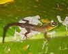 DB Gekkota Sphaerodactylidae <br /> Gonatodes humeralis<br /> Bridled Forest Gecko<br /> Male