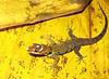DB Gekkota Sphaerodactylidae <br /> Gonatodes humeralis<br /> Bridled Forest Gecko<br /> Madre Selva
