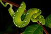 ED Booidea Boidae Boinae<br /> Corallus batesii<br /> Emerald Tree Boa<br /> Santa Cruz<br /> 2016
