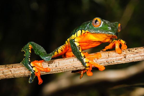BC Hylidae Phyllomedusinae Cruziohyla craspedopus Amazon Leaf Frog Madre Selva 2016