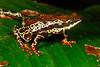 BA Bufonidae<br /> Atelopus spumarius<br /> Amazon Harlequin Toad<br /> Madre Selva<br /> Specimen #1<br /> 2016