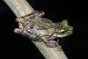 BC Hylidae Hylinae<br /> Osteocephalus buckleyi<br /> Buckley's Slender Legged Treefrog<br /> Santa Cruz<br /> Specimen #2<br /> 2016
