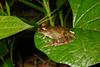 BC Hylidae Hylinae<br /> Osteocephalus buckleyi<br /> Buckley's Slender Legged Treefrog<br /> Santa Cruz<br /> 2016