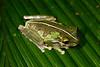 BC Hylidae Hylinae<br /> Osteocephalus buckleyi<br /> Buckley's Slender Legged Treefrog<br /> Madre Selva<br /> 2016